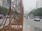 Cây phong lá đỏ đã được 'thuần hóa' để phù hợp với thổ nhưỡng Hà Nội