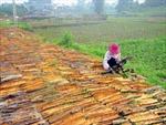 Vị thế chủ lực của cây quế Văn Yên