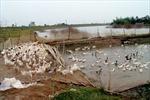 Tái bùng phát dịch cúm gia cầm H5N1 tại Quảng Trị