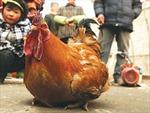 Kỳ lạ gà trống đẻ trứng