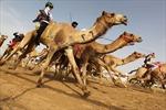 Cuộc đua lạc đà truyền thống tại UAE