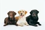 10 loài chó được yêu thích nhất