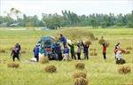 Giá lúa tăng, nông dân Bến Tre lãi 20 triệu đồng/ha