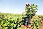 Độc đáo phương pháp trồng trọt không cày xới đất