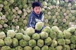Trung Quốc điều tra vụ phun phocmôn vào cải thảo