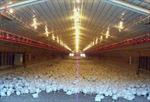 Lãi hơn nửa tỉ một năm nhờ... nuôi gà