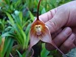 Độc đáo hoa hình mặt khỉ