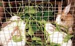 Hiệu quả từ mô hình nuôi thỏ ngoại
