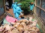 Lo khống chế virus lợn tai xanh độc lực cao