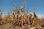 2/3 nước Mỹ khô hạn