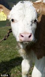 Giải cứu bé gái sống cùng với bò