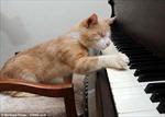 Chú mèo mù mê chơi piano