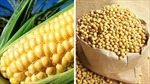 Giá ngũ cốc tăng do hạn hán
