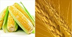 Ngô và lúa mỳ hạ giá