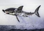 Ấn tượng khoảnh khắc cá mập trắng chộp hải cẩu