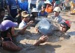 Phát hiện cá Nược, cá Nhám voi trôi dạt vào gần bờ