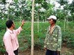 Thông tin Đắk Hà dừng hỗ trợ trồng cao su là không chính xác