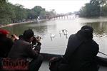 Thả thiên nga vào hồ Hoàn Kiếm: Cần 'ứng xử' thận trọng với di sản