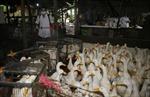 Dịch cúm gia cầm có nguy cơ bùng phát trở lại