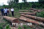 Tận thu gỗ rừng thiệt hại sau bão, chặt luôn cả cây không đổ