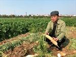 Củ cải trắng, nước mắt mặn trên cánh đồng Tráng Việt, Mê Linh