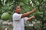 'Vua bưởi da xanh' đất Song Bình, Tiền Giang mỗi năm thu 500 triệu đồng tiền lãi