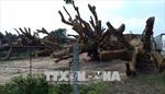 Làm rõ nghi án bao che cho xe chở cây cổ thụ khổng lồ