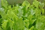 Bùng phát dịch bệnh tại Mỹ do khuẩn E.coli trong rau diếp