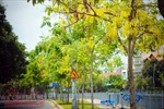 Ngắm hoa Osaka khoe sắc vàng rực trên đường Hoàng Sa, Trường Sa