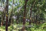 Đảm bảo quyền lợi cho người dân góp đất trồng cao su ở Lai Châu