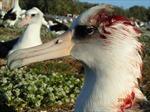 Chuột 'khát máu', tấn công chim hải âu trong đêm