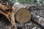 Khởi tố, bắt tạm giam ba đối tượng khai thác gỗ trái phép