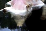 Phát hiện xác lợn mang bàn tay 5 ngón giống hệt người
