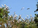 Nguy cơ xóa sổ vườn cò lớn nhất tỉnh Bắc Giang