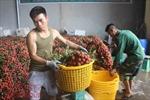 Mới giữa vụ, nông dân trồng vải đã đạt doanh thu hơn 3.600 tỷ đồng