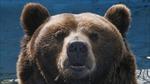 Gấu là 'tài nguyên chiến lược' của an ninh Nga