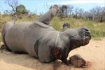 Phim ngắn truyền thông kêu gọi chấm dứt thảm sát tê giác