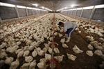 Lo lây lan cúm, Indonesia ngừng nhập khẩu gia cầm từ Malaysia