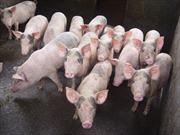 'Lợn chết đột ngột' là do bệnh tiêu chảy