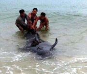 Giải cứu cá voi nặng hơn 1 tấn mắc lưới