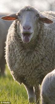 Hoa 'ăn thịt cừu' sắp nở