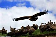 Rùng rợn kền kền Tây Tạng rỉa xác chết thiên táng