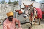 Bò màu nhiệm giúp sinh con trai ở Ấn Độ