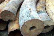 Thu giữ 4,2kg ngà voi châu Phi chuyển về Việt Nam