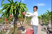 Trồng thanh long ở Cà Mau: Dễ trồng, khó bán