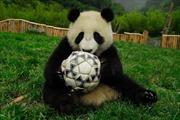 Gấu trúc trổ tài dự đoán kết quả World Cup