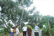 Về thăm cây vải tổ Thanh Hà