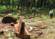 Lâm tặc ngang nhiên xẻ gỗ trong Khu bảo tồn Tà Đùng