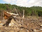 Khởi tố Phó Giám đốc thuê người… phá rừng