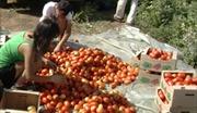 Người Việt ở Volgagrad hái trái ngọt từ nông nghiệp